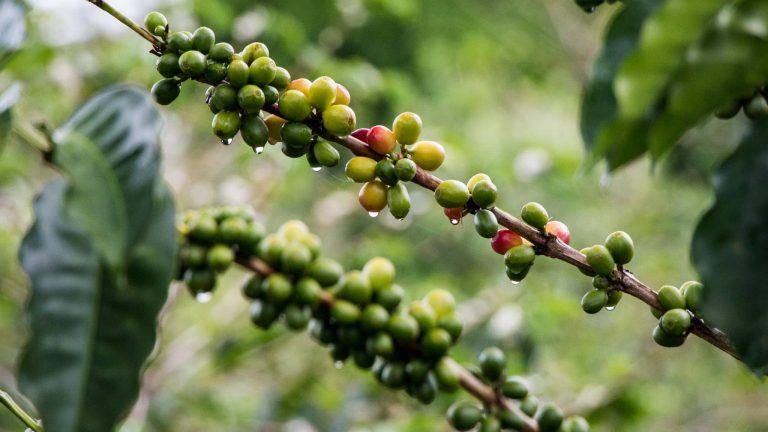 Origins of coffee in Boquete