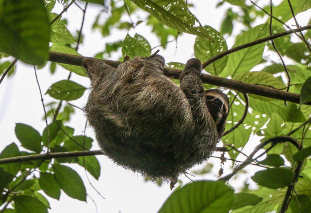 Sloths in Boca del Toro