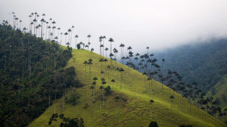Lush Cocora Valley filled with colibri and palm trees
