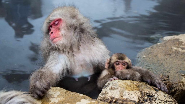 Japan's Snow Monkeys Soaking in Hot Springs