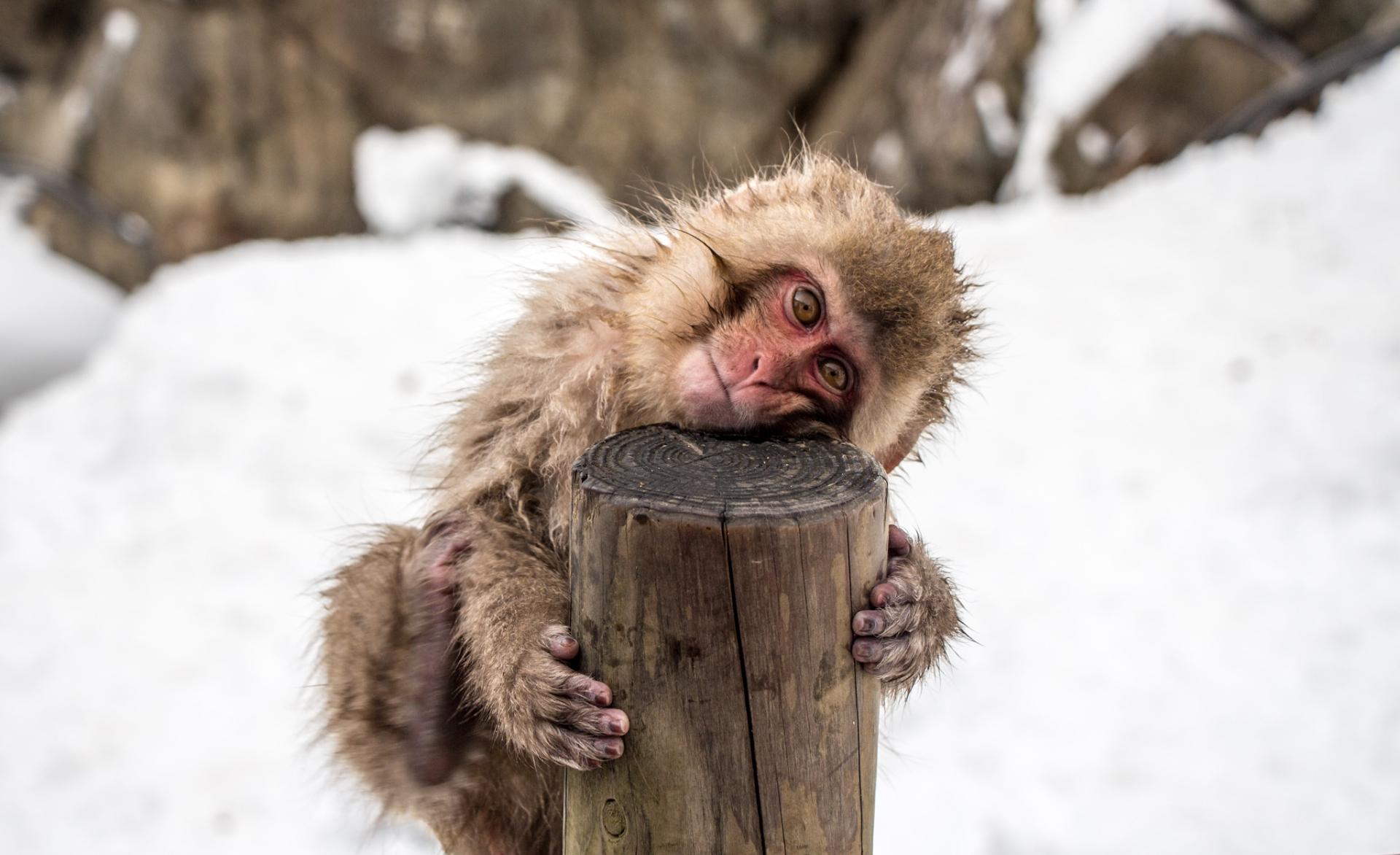 Baby Snow Monkey, Japan