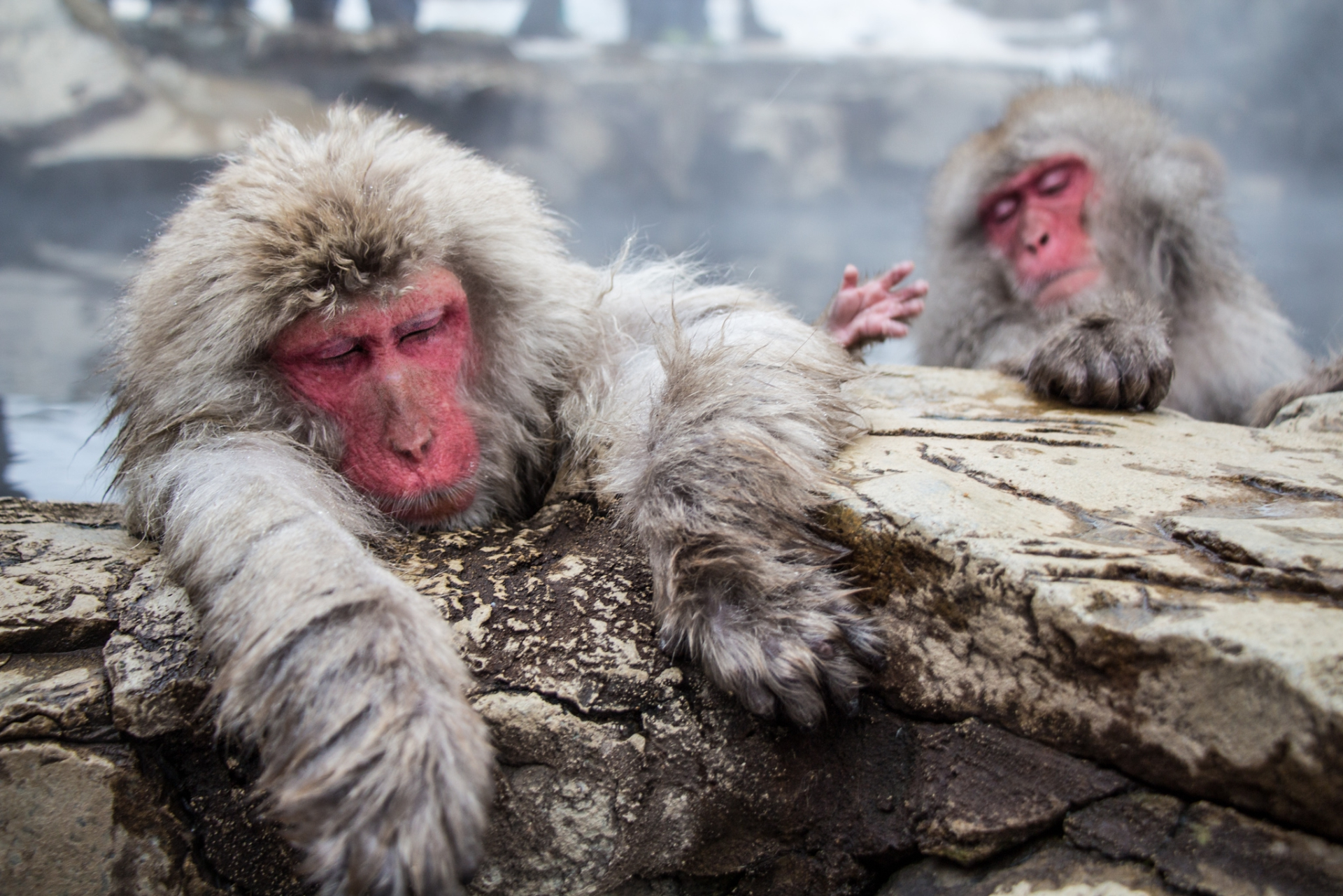 Snow Monkeys Relaxing, Japan