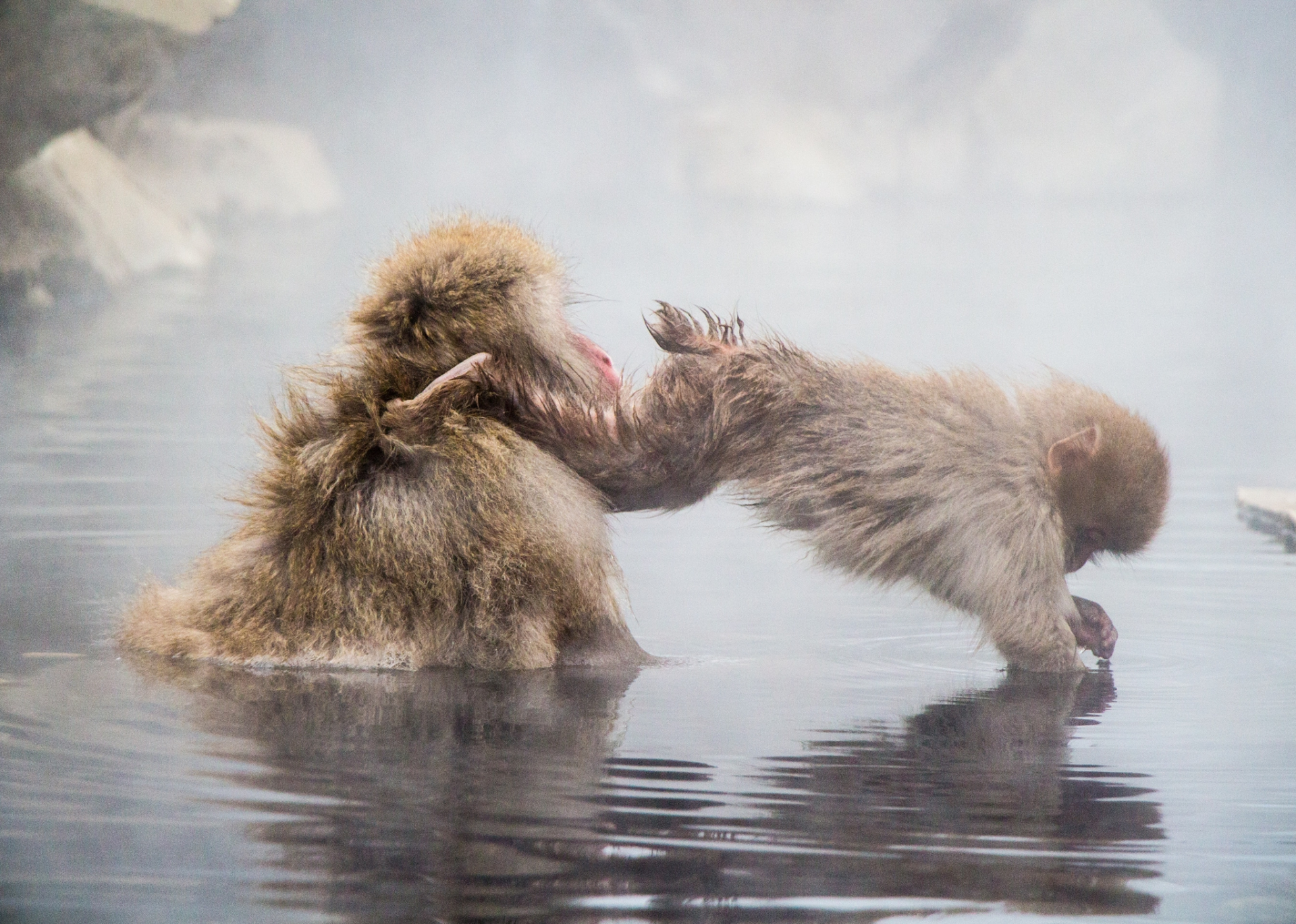 Diving Baby Snow Monkey